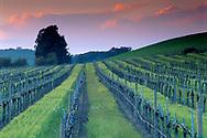 Sunset light on storm clouds over barren wine vineyard in winter, Carneros Region, Napa County, California