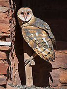 A barn owlet (Tyto alba)  surveys the world from its ledge nest inside the Abo Mission Ruins, Salinas National Monument, New Mexico.
