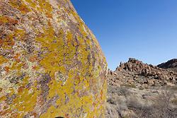 .Lichen on granite rock, Grapevine Hills of Big Bend National Park, Texas, USA.