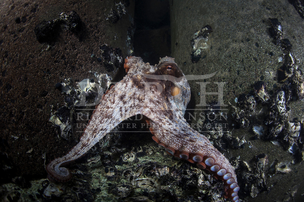 Octopus maorum (Maori octopus) underneath  the wharf at Leigh, Auckland. Photograph Richard Robinson © 2014.