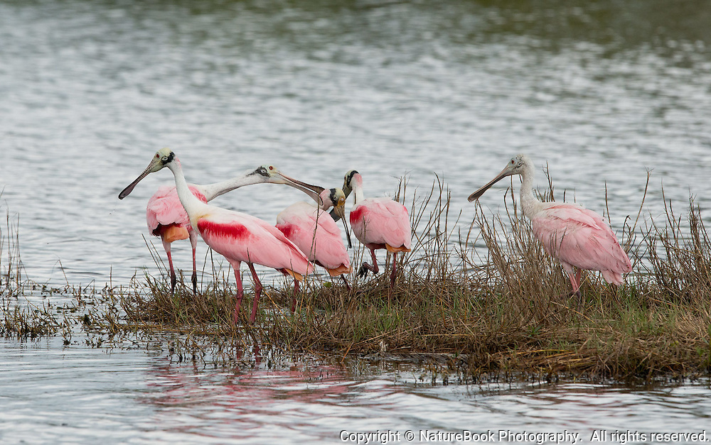 A gathering of Roseate Spoonbills at Merritt Island National Wildlife Refuge in Florida, adjacent to the Kennedy Space Center.  Note that one of the birds does not appear to be happy with another.