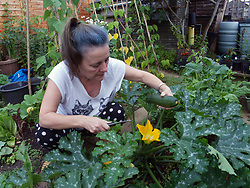 Woman picking home grown courgettes in the garden. UK Model released