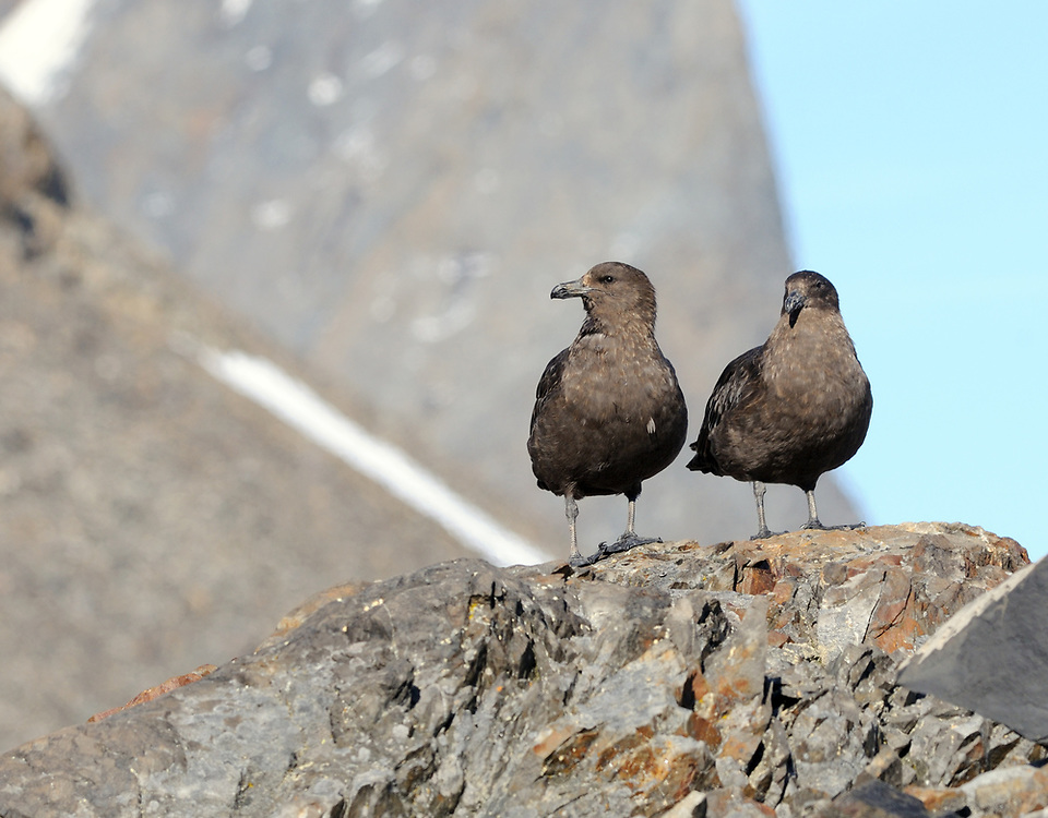 Skuas sit on a rock observing the penguin nesting colonies at Hope Bay. These birds are either Brown Skuas (Catharacta lonnbergi) or South Polar Skuas (Catharacta maccormicki) .  Hope Bay,  Trinity Peninsula,  Antarctic Peninsula, Antarctica. 02Mar16