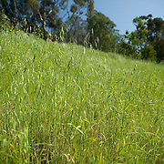 Low angle, selective-focus shot, upwards-looking of a lush green field of wild grasses in a canyon near downtown San Diego.