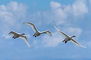 Whooper Swan at South Iceland   Sangsvane fra Sør Island