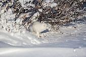 Foxes - Arctic