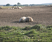 Two pigs lying together in a field open countryside, Suffolk, England, UK