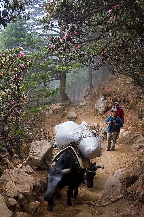 Dzokyo and people share the trail through the rhododendron forests below Tengboche Monastery, Khumbu (Everest) region, Himalaya Mountains, Nepal.