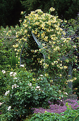 Arbour covered with Lonicera belgica at Coughton Court - honeysuckle