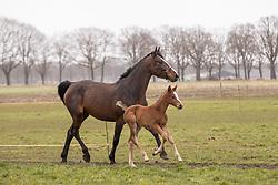 La Diva, veulen van Nixon van het Meulenhof, Knijnkurg Pascal, Laura<br /> Stal Knijnenburg - Deurne 2021<br /> © Hippo Foto - Dirk Caremans<br /> 21/03/2021