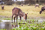 Female Ellipsen Waterbuck (Kobus ellipsiprymnus) Waterbucks are large antelopes that are found near to water in the grasslands and savannahs of southeast Africa. They feed mainly on grasses but may take other plants. They live in large home ranges that are shared by many individual females, bachelor herds of non-territorial young males and territorial mature males. The waterbucks often jump into nearby water to escape their predators Photographed in Tanzania, Serengeti National Park