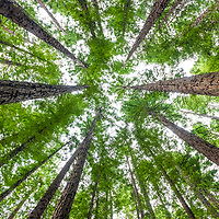 Canopy of Californian Redwoods (Sequoia sempervirens) form a forest outside the town of  Warburton, Victoria, Australia.