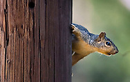 KEVIN BARTRAM/The Daily News.A squirrel peeks out from behind a utility pole near 31st Street and Avenue R in Galveston on Wednesday, Oct. 12, 2005.