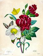 19th-century hand painted Engraving illustration of a bouquet of Hellebore [Ellebore] flowers, by Pierre-Joseph Redoute. Published in Choix Des Plus Belles Fleurs, Paris (1827). by Redouté, Pierre Joseph, 1759-1840.; Chapuis, Jean Baptiste.; Ernest Panckoucke.; Langois, Dr.; Bessin, R.; Victor, fl. ca. 1820-1850.