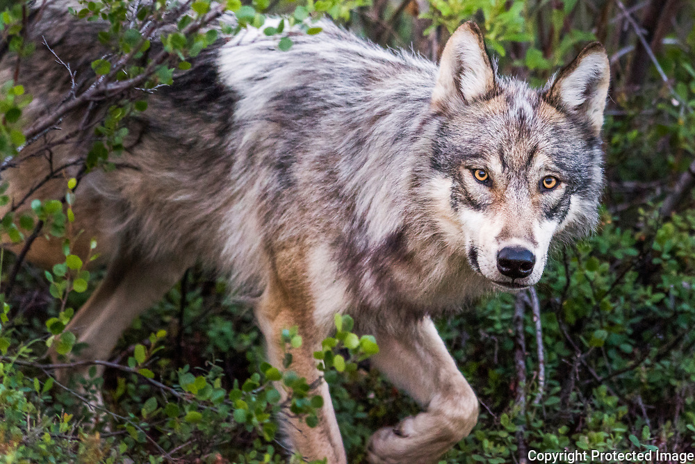 A one-year-old wolf pauses curiously while rummaging through the woods two miles from park headquarters in 2015. That year, because of a decline in the wolf population only 5 percent of Denali visitors reported seeing a wolf — down from 45 percent in 2010. From 2000 until 2010, the State of Alaska prohibited wolf hunting and trapping in two areas bordering the park as a buffer zone in order to protect two of the park's three most-commonly viewed wolf packs. At the spring 2010 meeting of the Alaska Board of Game, the board decided to eliminate both closed areas and allow hunting and trapping of wolves in all areas bordering the park.<br /> -2015