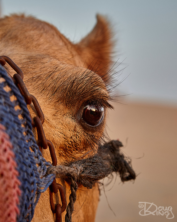 Camels are prized throughout the Middle East