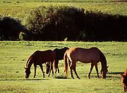 Horses grazing in pasture at Sopris Mountain Ranch, Roaring Fork Valley, Basalt, Colorado.