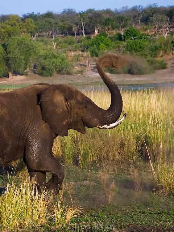 Mud bath, Chobe National Park, Zimbabwe