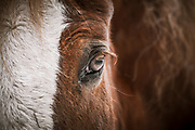 Left Eye of a horse close up