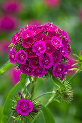 Breanthus 'Elmo' - annual Sweet William. syn. Dianthus