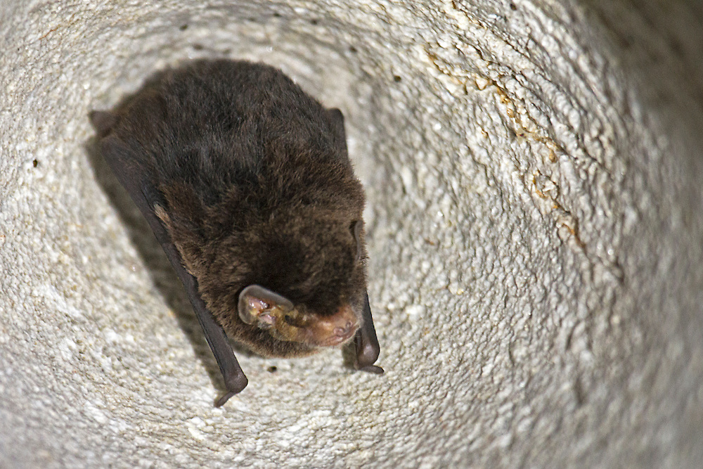 The limestone caves of Gunung Mulu National Park, Borneo, make the perfect place for this bat's daytime roost.
