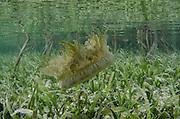 Mangrove Upsidedown Jelly (Cassiopea xamachana)<br /> BONAIRE, Netherlands Antilles, Caribbean<br /> HABITAT & DISTRIBUTION: Shallow mangrove bays and lagoons with mud or sandy bottoms.<br /> Florida, Bahamas & Caribbean