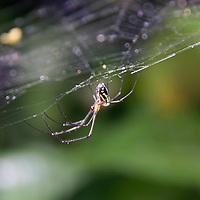 Central America, Costa Rica, Manual Antonio. Delicate spider hangs upside down on web.