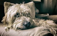 Scruffy young lurcher dog relaxing on a chair