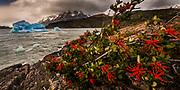 Firebush or notro (Embothrium coccincum) and blue iceberg, Lago Grey, Parque Nacional Torres del Paine, Patagonia, Chile