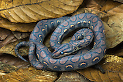 Rainbow Boa pre-moult (Epicrates cenchria cenchria) CAPTIVE<br /> Amazon rainforest, ECUADOR. South America