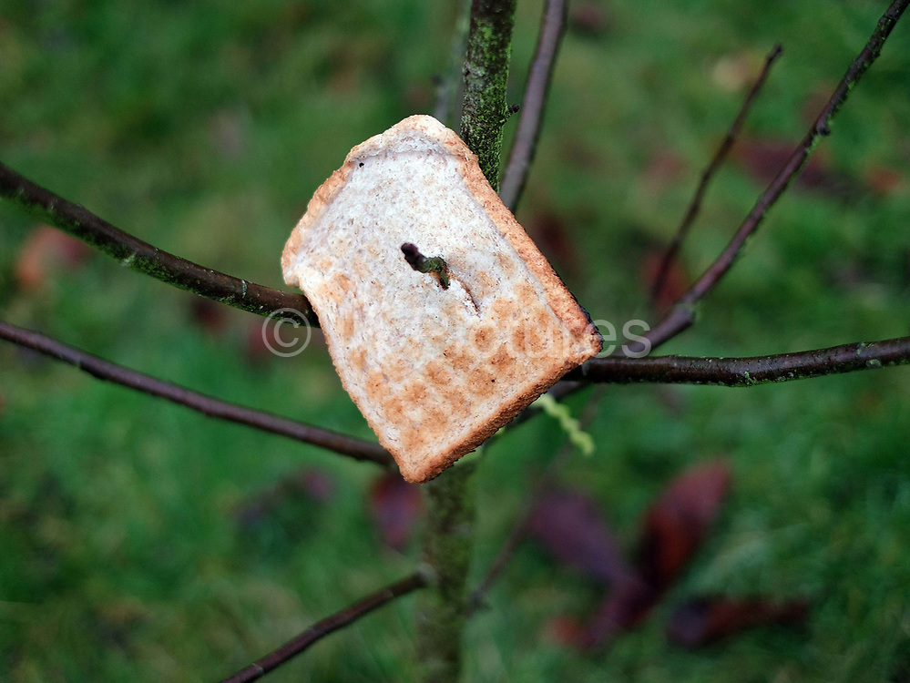 Toast hanging on a cider apple tree at an orchard-visiting wassail in Kilham village, Yorkshire Wolds, UK on 21st January 2017. Wassail is a traditional Pagan winter celebration in cider-producing regions of England, reciting incantations and singing to the trees to promote a good harvest for the coming year. Pieces of toast soaked in cider are hung in the branches to attract robins to the tree as these are said to be the good spirits of the orchard. To ward off evil spirits, villagers scare them away by banging pots and pans and making as much noise as possible