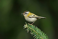 Firecrest Regulus ignicapillus L 9-10cm. Only marginally larger than Goldcrest. Sexes are dissimilar. Adult has yellow-green upperparts with 2 pale wingbars. Underparts are buffish white but flushed golden-yellow on sides of neck. Has dark eyestripe, broad white supercilium and black-bordered crown stripe (orange in male, yellow in female). Juvenile is similar but crown stripe is absent. Voice Utters a thin tsuu-tsee-tsee call. Song is a series of thin, high-pitched notes. Status Rare breeding bird, in summer months often found in mixed woodland with mature conifers and understorey of Holly. Migrants and wintering birds are found mainly in coastal woodland.