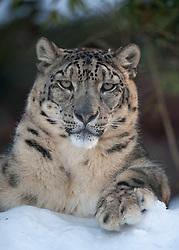04.01.2011, Wuppertal, GER, Outdoor, Zoo  . im Bild der Schneeleopard aus dem Wuppertaler Zoo beobachtet laessig die Umgebung und hat seine linke Tatze auf den Schnee gelegt...Foto © nph Freund       ****** out ouf GER ******