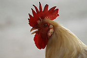 A close up portrait of a free range rooster