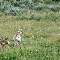"A female pronghorn with her babies pause before ""pronking"" away from curious onlookers in Yellowstone's Lamar Valley. Pronghorn are the second fastest land mammals (after the cheetah) and can sustain speeds of 20-30mph for up to a half hour."