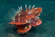 Shortfin Lionfish (Dendrochirus brachypterus) in Lembeh Strait, Indonesia