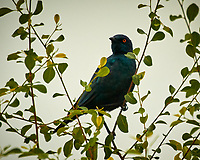 Greater Blue-eared Starling. Chobe river, Botswana. Image taken with a Nikon N1V3 camera and 70-300 mm VR lens
