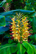Kahili Ginger Flower, Kilauea, HVNP, Big Island of Hawaii