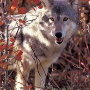 Gray Wolf, (Canis lupus) Portrait. Autumn. Rocky mountains.  Captive Animal.