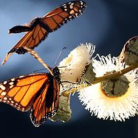 Monarch Butterflies at Lighthouse Field in Santa Cruz, California.<br /> Photo by Shmuel Thaler <br /> shmuel_thaler@yahoo.com www.shmuelthaler.com