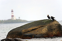 The Great Cormorant (Phalacrocorax carbo), known as the Great Black Cormorant across the Northern Hemisphere, the Black Cormorant in Australia and the Black Shag further south in New Zealand, is a widespread member of the cormorant family of seabirds.