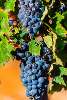 Red wine grapes on the vine during the harvest, Delaire Graff Wine Estate atop Helshoogte Pass, near Stellenbosch, Cape Winelands (near Cape Town), South Africa.