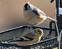 Tufted Titmouse (Baeolophus bicolor), American Goldfinch (Spinus tristis). Image taken with a Fuji X-H1 camera and 200 mm f/2 lens + 1.4x teleconverter.
