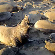 Northern Elephant Seal, (Mirounga angustirostris)  Bull known as Beach Master bellowing. Central California coast.