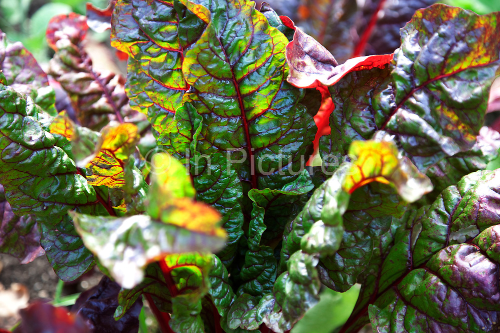 Swiss Chard. Sun shines through these fresh green leaves highlighting the beautiful bright red stem and veins of this healthy vegetable.