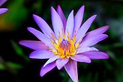 Water Lily, Hawaii
