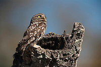 Little Owl (Athene noctua)<br /> RANGE: Temperate part of Europe, Asia e to Korea & n Africa. Introduced to UK in 19th century & now naturalised. Also introduced to South Island of New Zealand.<br /> They are diurnal & perch prominently during the day. Feed on insects, earthworms, amphibians and small birds and mammals.<br /> Doñana National & Natural Park. Huelva Province, Andalusia. SPAIN<br /> 1969 - Set up as a National Park<br /> 1981 - Biosphere Reserve<br /> 1982 - Wetland of International Importance, Ramsar<br /> 1985 - Special Protection Area for Birds<br /> 1994 - World Heritage Site, UNESCO.<br /> The marshlands in particular are a very important area for the migration, breeding and wintering of European and African birds. It is also an area of old cultures, traditions and human uses - most of which are still in existance.