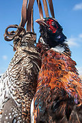 Pheasants hang during an upland bird shoot near Minot, North Dakota, United States. Birds such as pheasant and grouse are flushed out of the prairie grasslands and reed filled sloughs by the hunters, and often meet their end during the short hunting season.