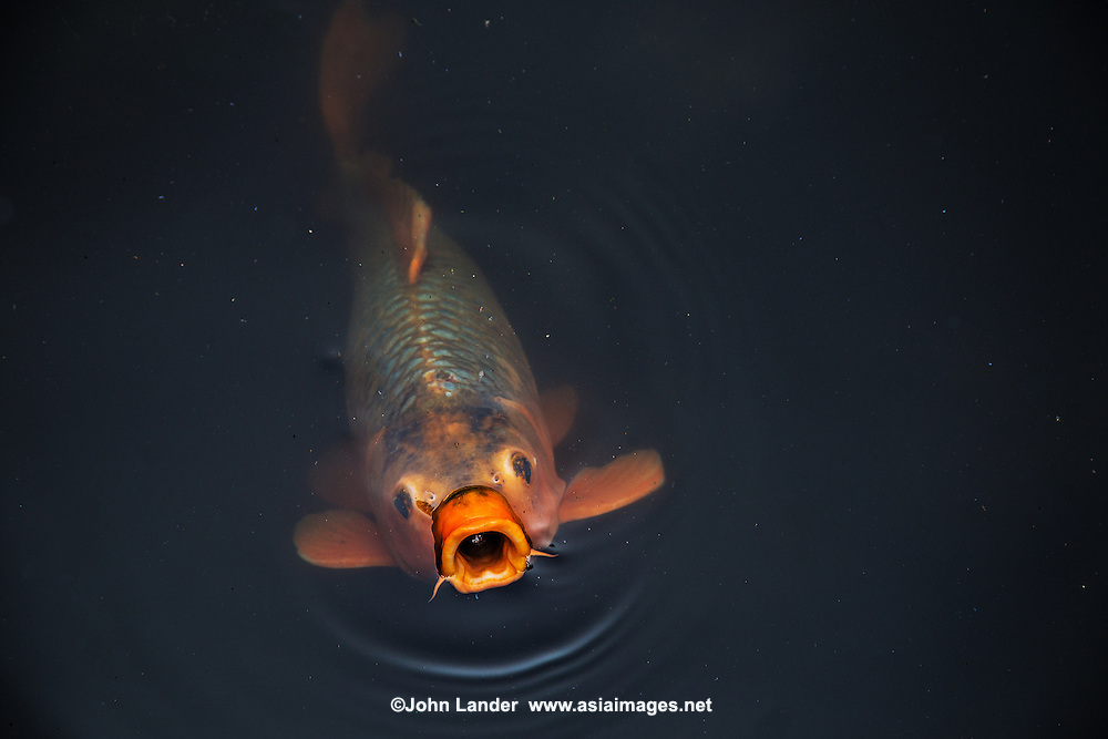 Carp are seen in Japan as well as in the rest of Asia as a symbol of fortune. These ponds used as an element of a landscape pond garden. Classic koi ponds have nishikigoi Japanese ornamental carps. It is said that the design of a koi pond has a great effect on the well-being of the carp.