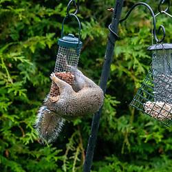 Squirrel in the garden, June 2020